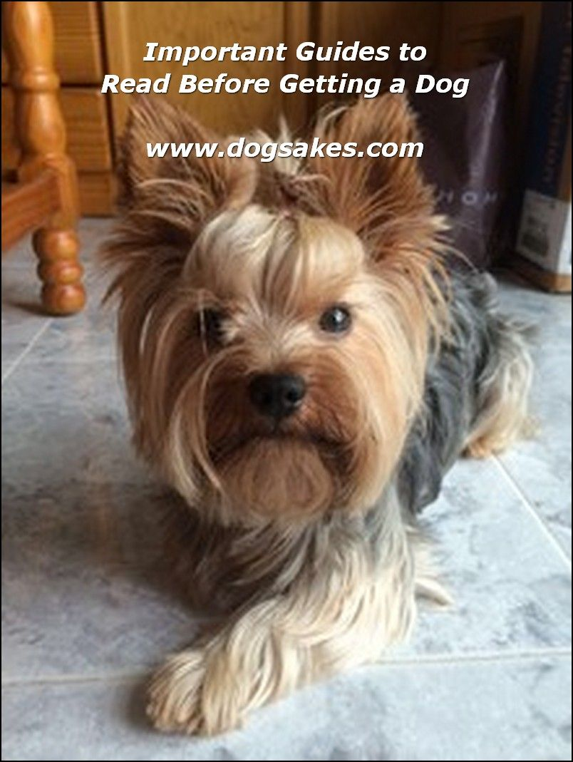 Learn About Yorkshire Terriers Please Click Here To Get More Information Yorkshire Terrier Yorkshire Terrier Hund Yorkie