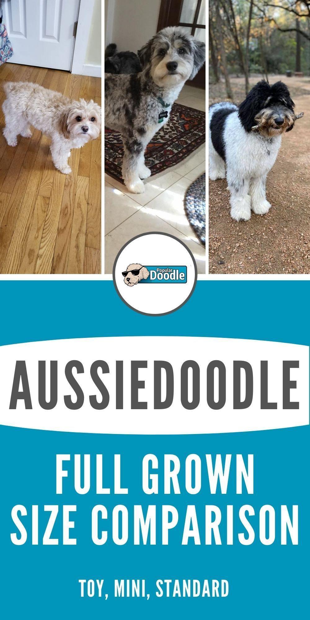 Mini Aussie Size Comparison : aussie, comparison, Aussiedoodle, Grown:, Sizes, (Toy,, Mini,, Standard), Aussiedoodle,, Aussie, Doodle, Puppy,, Breeds