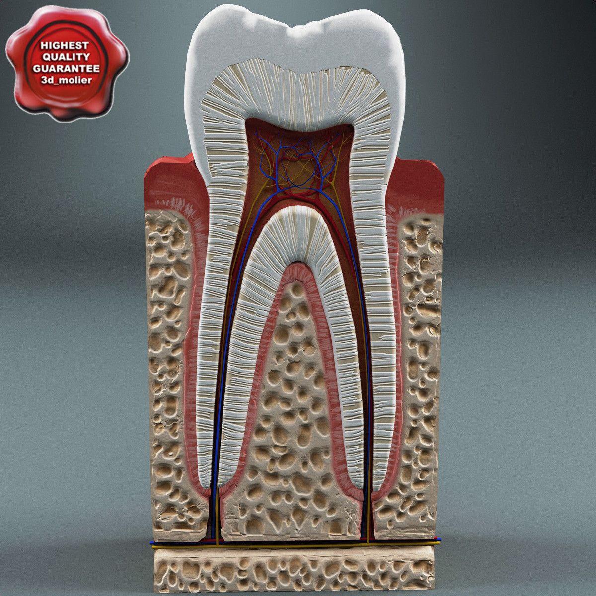 tooth anatomy 3d max | Dental | Pinterest