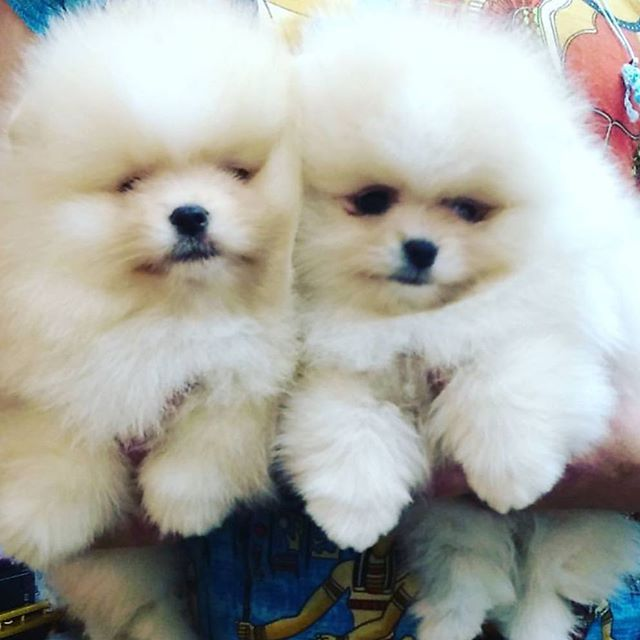 Pomeranian Puppies For Sale Get Pics And Price On Https Spitzpomeranian Co Uk Pomeranian Puppy For Sale Pomeranian Puppy Cute Pomeranian