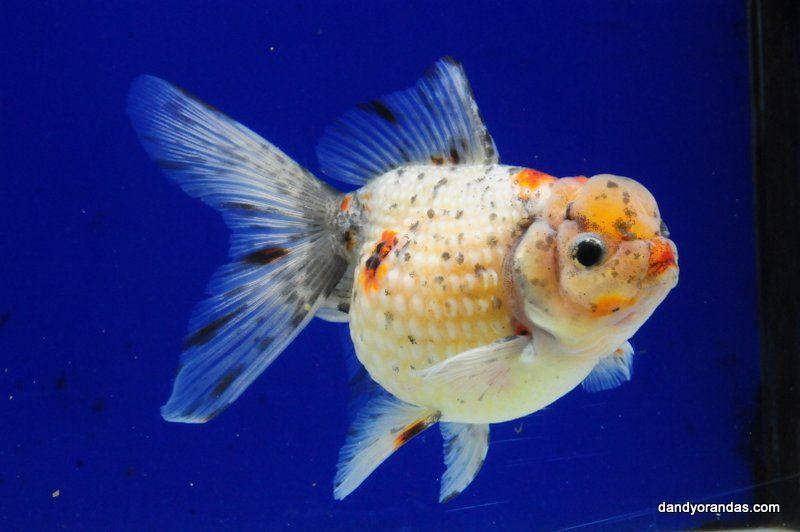 Crown Pearl Scale 1 Goldfish Fish Pet Pets