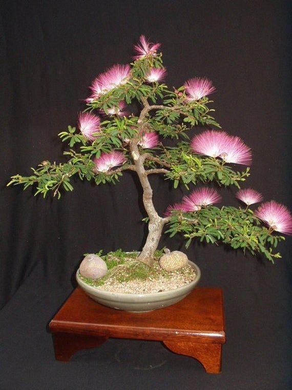Albizia Julibrissin Mimosa Bonsai Rosa Baum 10 Samen selten