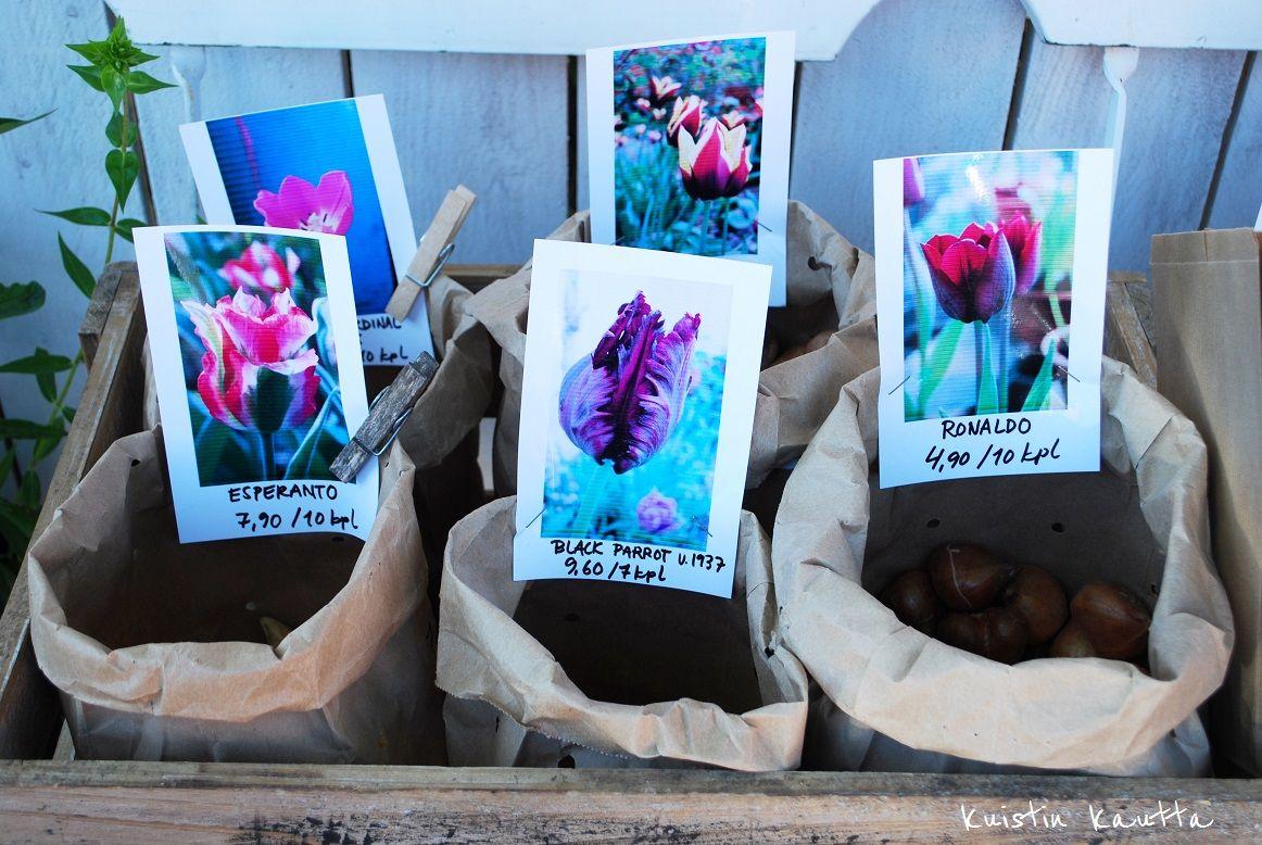 Kuistin kautta: Tulppaanin sipuleita Loviisasta