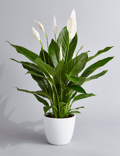 Benefits Of House Plants Peace Lily on kalanchoe plant benefits, janet craig plant benefits, ficus plant benefits, hibiscus plant benefits, croton plant benefits, aloe plant benefits, cactus plant benefits, marigold plant benefits, lavender plant benefits, bird of paradise plant benefits, snake plant benefits,