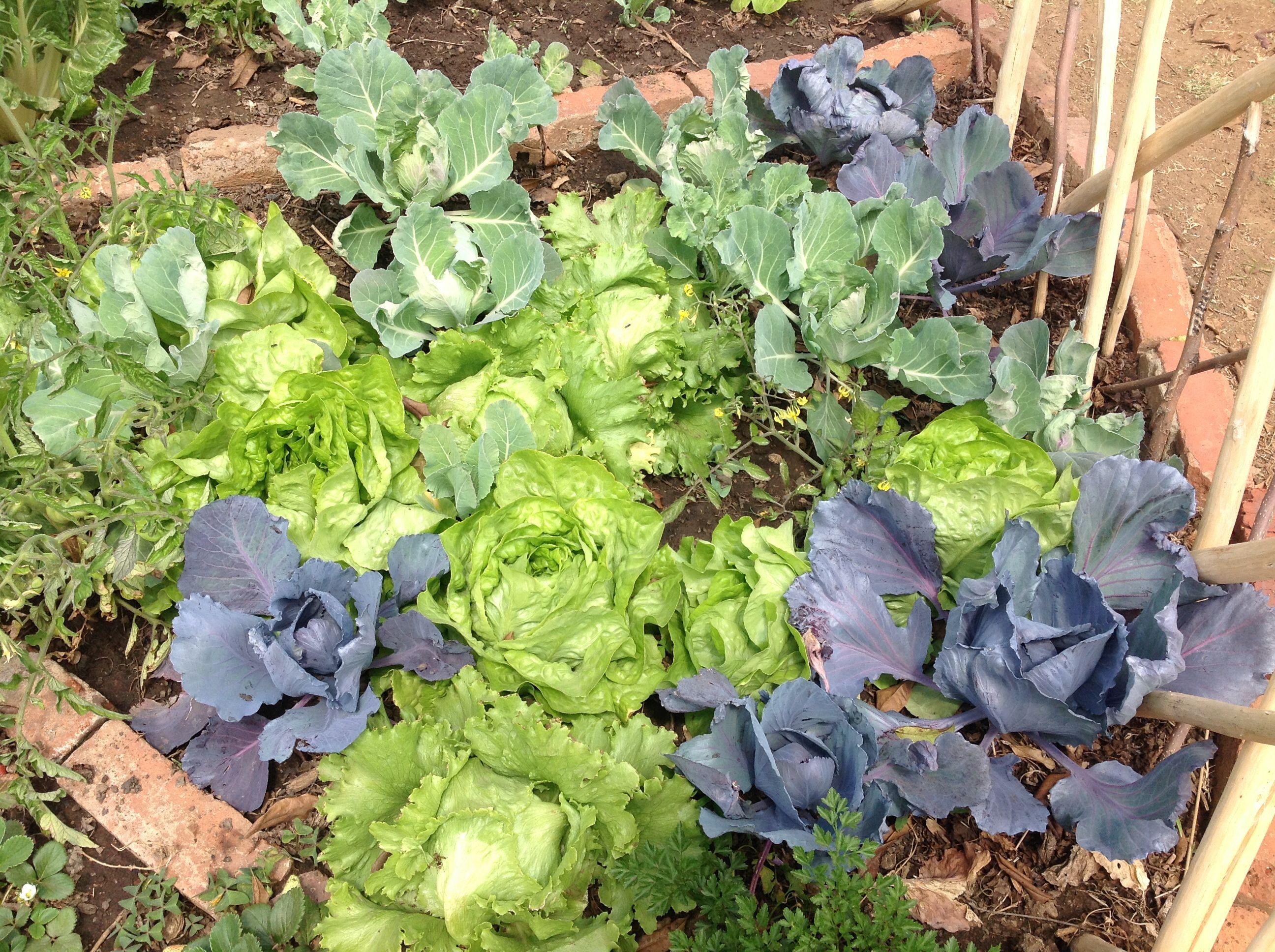 purple cabbage and self seeded lettuce 2014 winter veggie garden