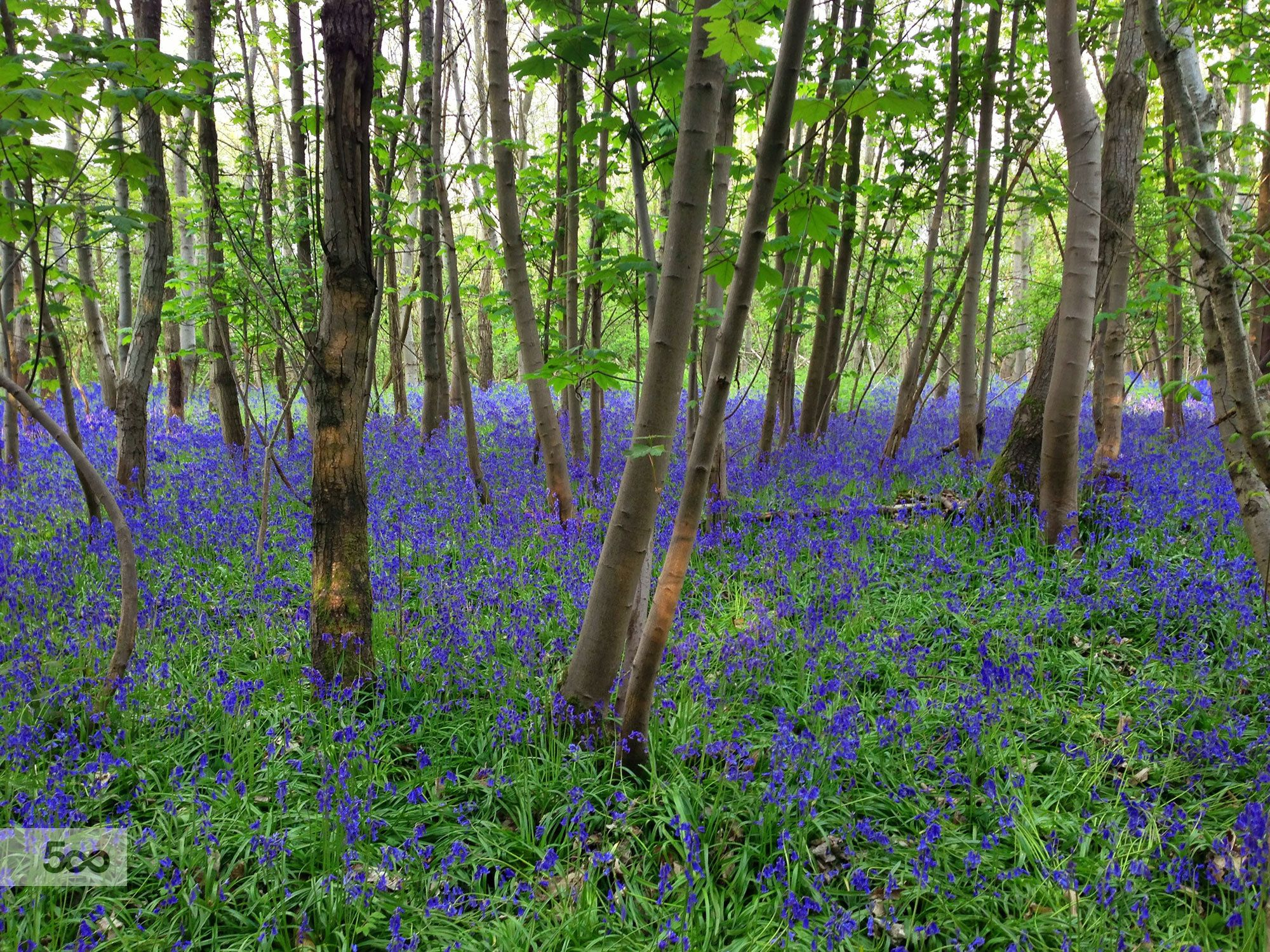 Photo Bluebell forest by Simon Marlow on 500px