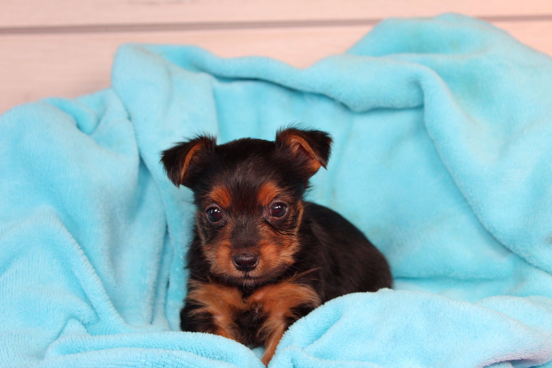 Trex Akc Male Yorkshire Terrier Puppy For Sale Near Nappanee Indiana In 2020 Yorkshire Terrier Puppies Puppies Puppies For Sale