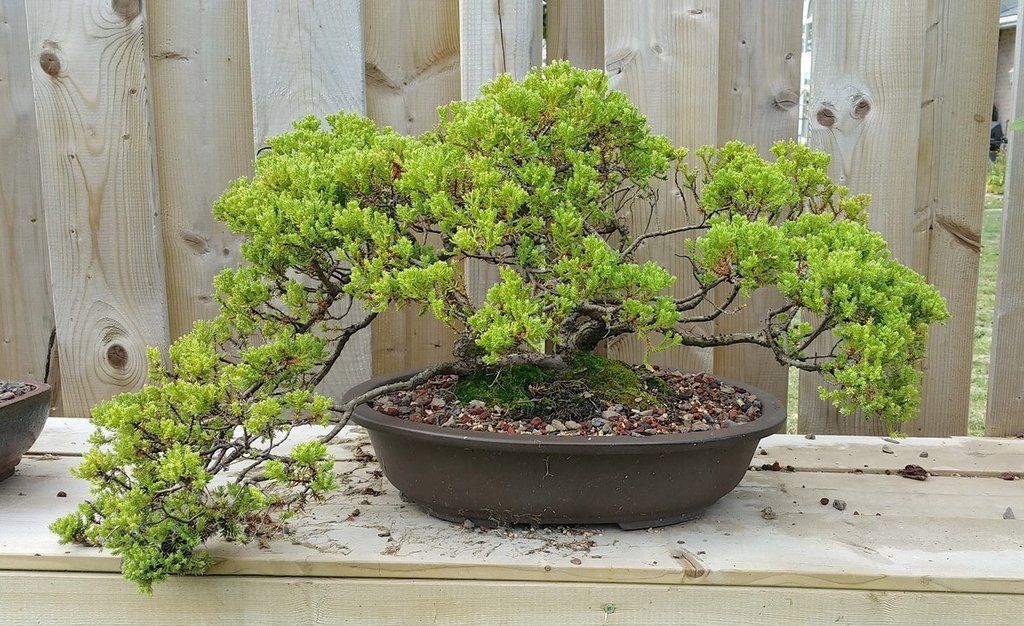 Bonsai Tree Care for Beginners A How To Guide Bonsai