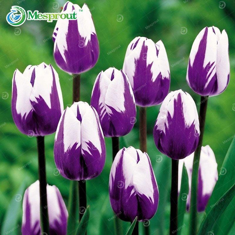 24 cores Perfume semente Tulip alta - grau flor Bonsai sementes, Mais bonito e colorido tulipa plantas vivazes início jardim 10 PCS