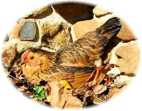Working with Broody Hens: Let Mama Do It (Part One) - Fabulous article on allowing a broody hen to incubate eggs for you.