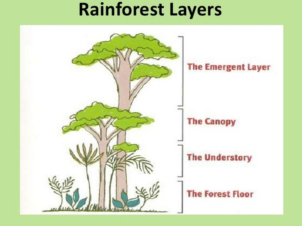 Image Result For Layers Of The Rainforest