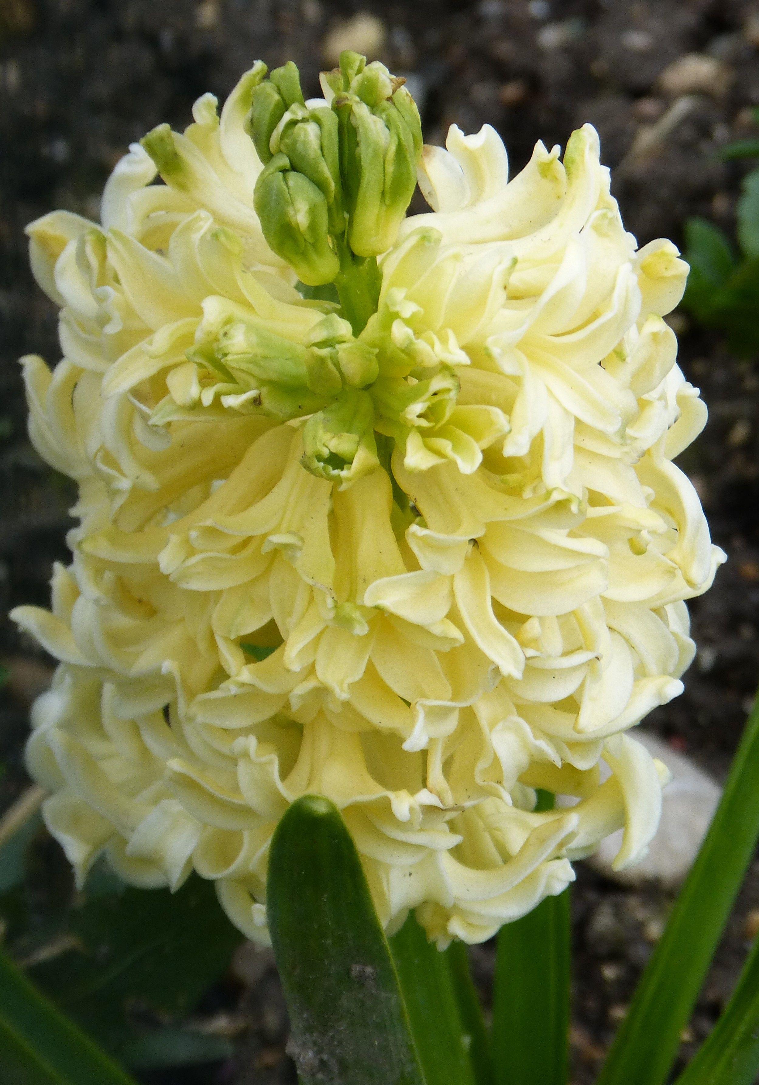 Jacinthe (originaire de l'espèce sauvage du MoyenOrient