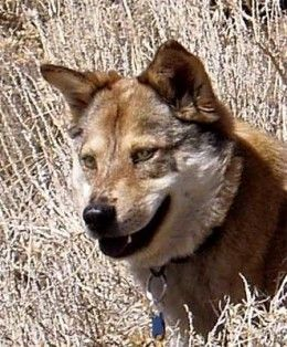 The Coyote Coydogs Coywolves And Coyotes In Urban