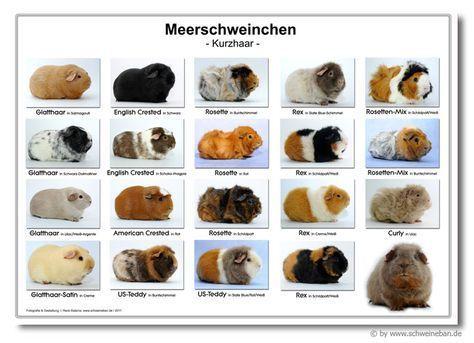 Informationen über Meerschweinchen Herkunft Lebensweise