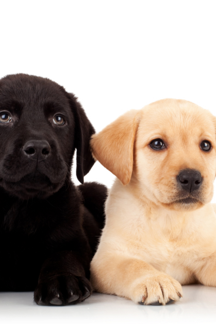 Two Cute Labrador Puppies Looking Up To Something Over White Labradorretriever In 2020 Labrador Retriever Golden Retriever Labrador Labrador Puppy