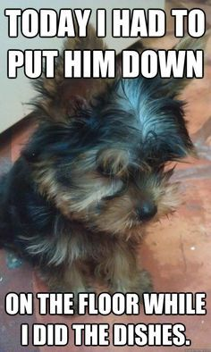 yorkie love on pinterest yorkie pills and meme