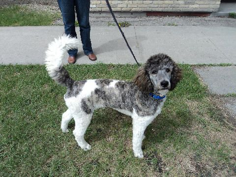 Simon 6 Months Old Brindle Parti Standard Poodle Bred By Cathy