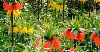 Каталог луковичных садовых цветов с фотографиями и ...