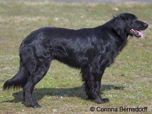 Black Hovawart Reminds Me Of Jake 1994 2007 Hovawart Hund Hovawart Hunderassen