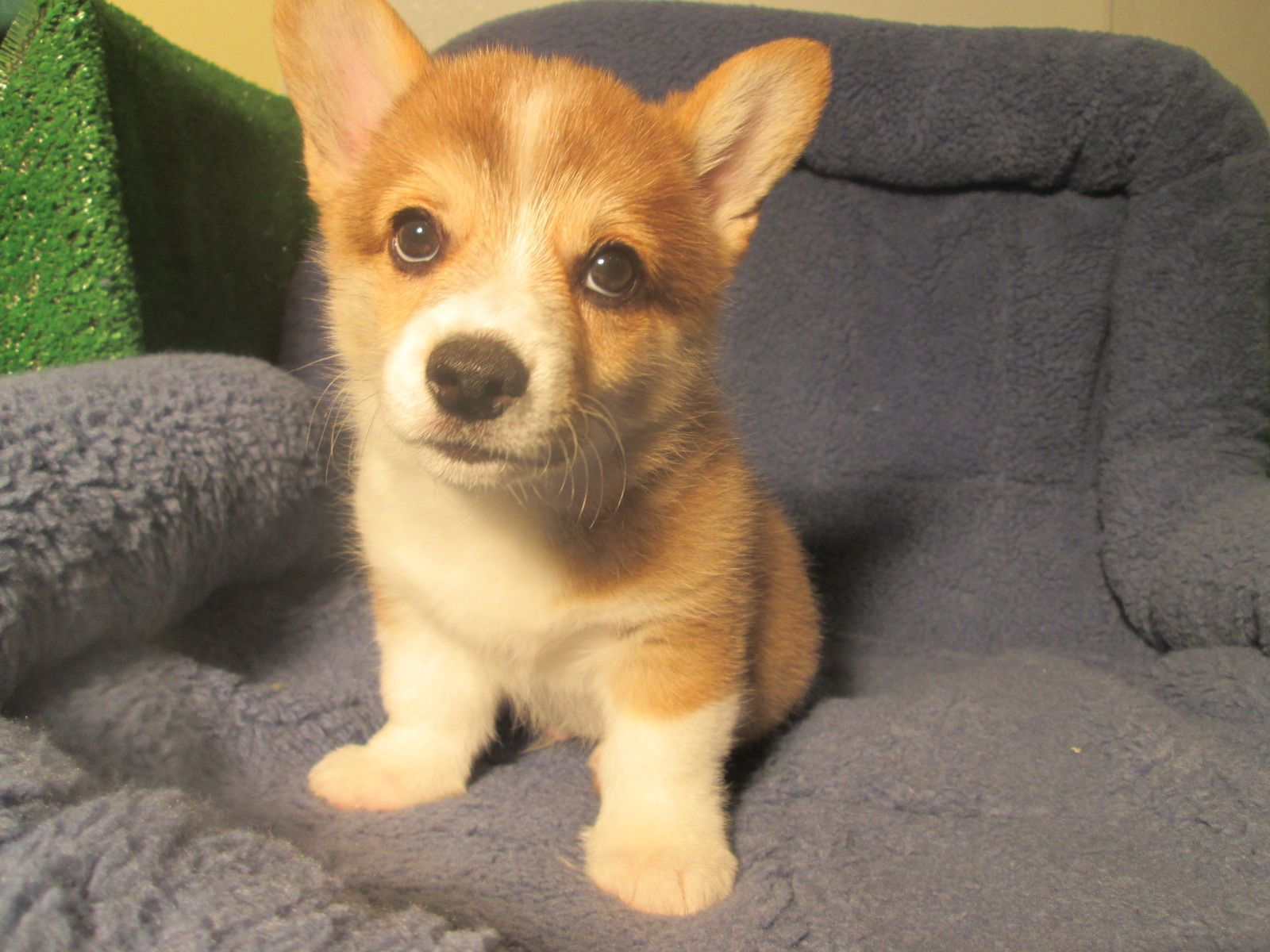 Precious Pembroke Welsh Corgi Puppies Available 8 12 Weeks Of