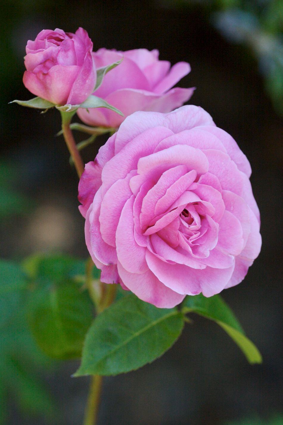Gertrude Jekyll. englishroses048. Glamis Castle    robertmealing.com