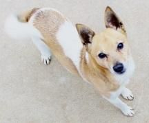 Meet Reno, a Petfinder adoptable Basenji Dog | Lancaster, OH | The last thing I remember is running aimlessly, weaving through traffic on a 4 lane highway, so...
