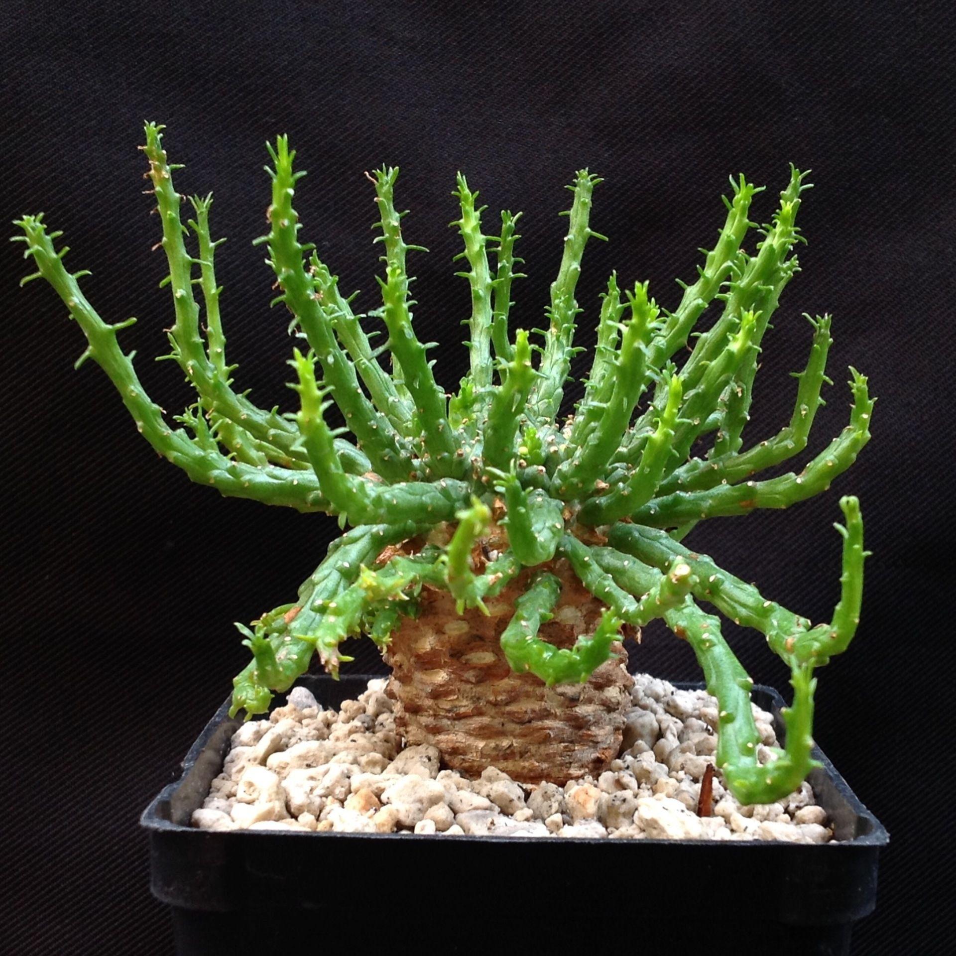 Connu Euphorbia flanaganii medusa   socalfatplants_n_more, succulent  FS78