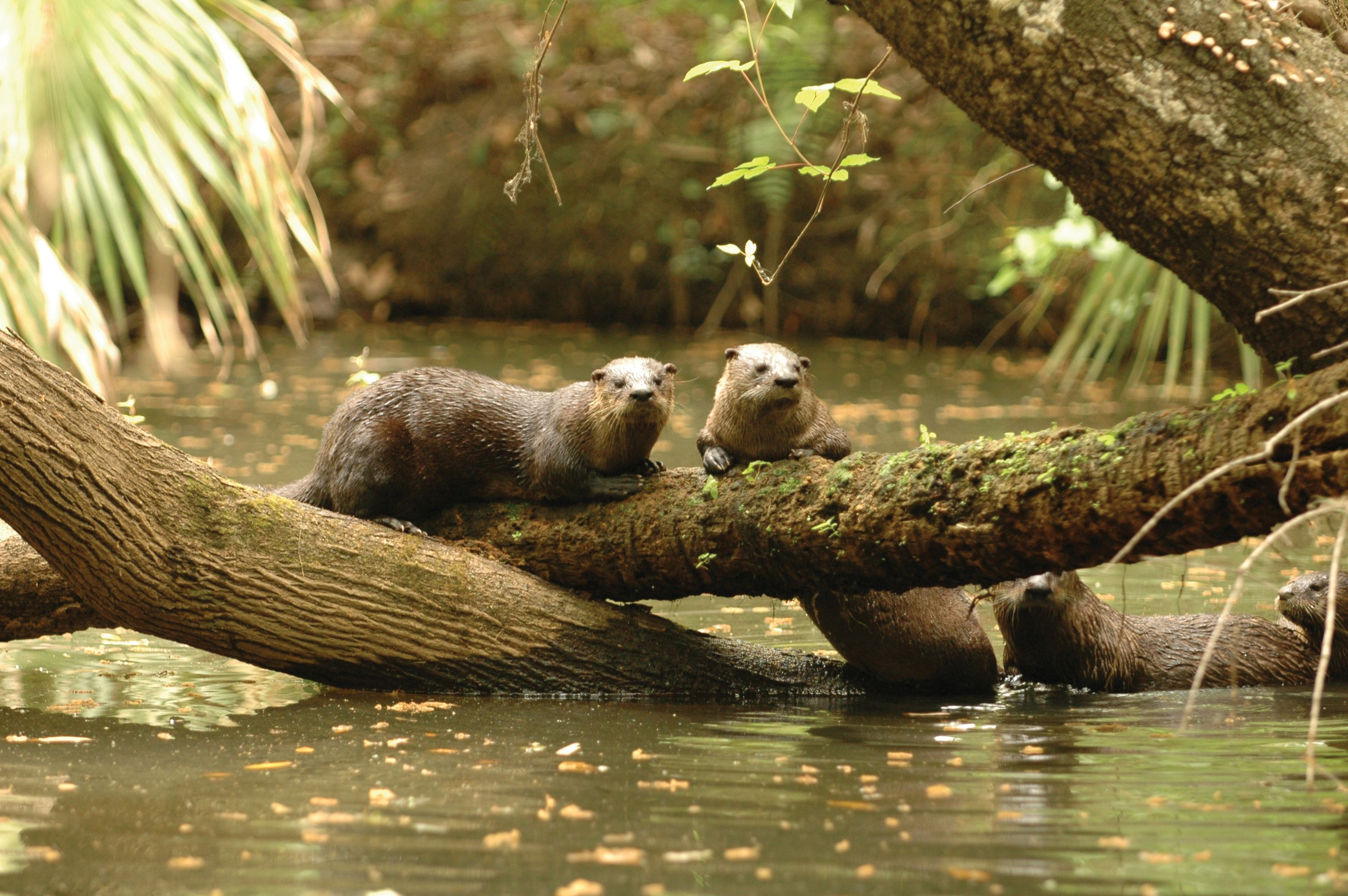 River Otters Photo Credit: Visit Sarasota County www.thetouroperator ...
