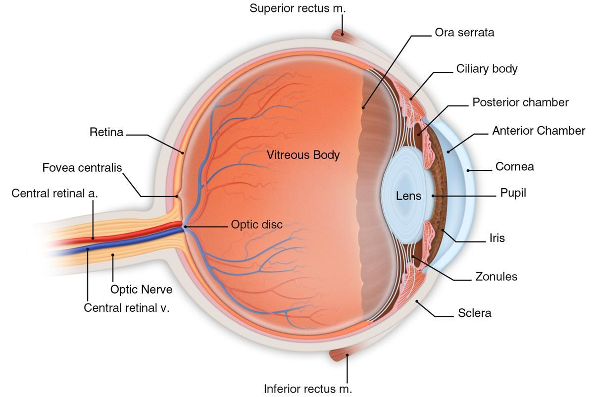 Eye Model Labeled