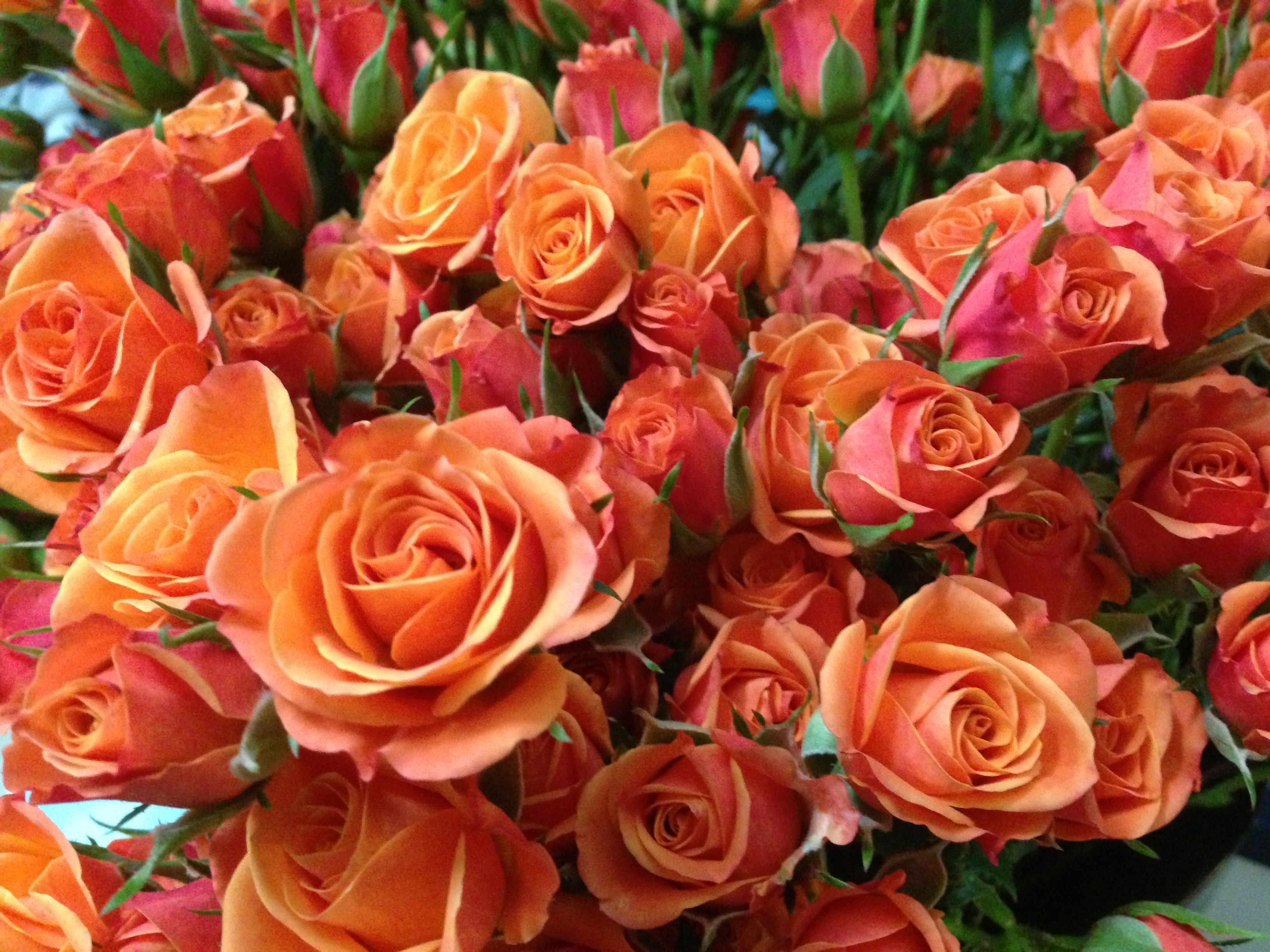 Image result for mambo spray rose in 2019 Spray roses