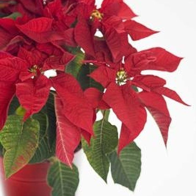 Care Instructions For Poinsettias Ehow Poinsettia Plant Plants Poinsettia Care