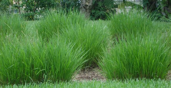 dwarf fakahatchee grass  grows like    grass  the dwarf variety is easier to maintain