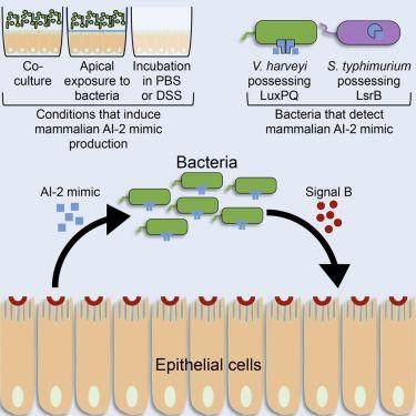 A Host Produced Autoinducer 2 Mimic Activates Bacterial Quorum Sensing Quorum Senses Microbiology