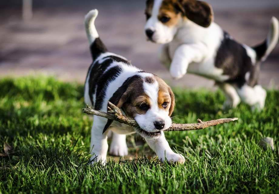 13 Inch Beagle Puppies Beagle Puppy Puppy Socialization Dog Breeds