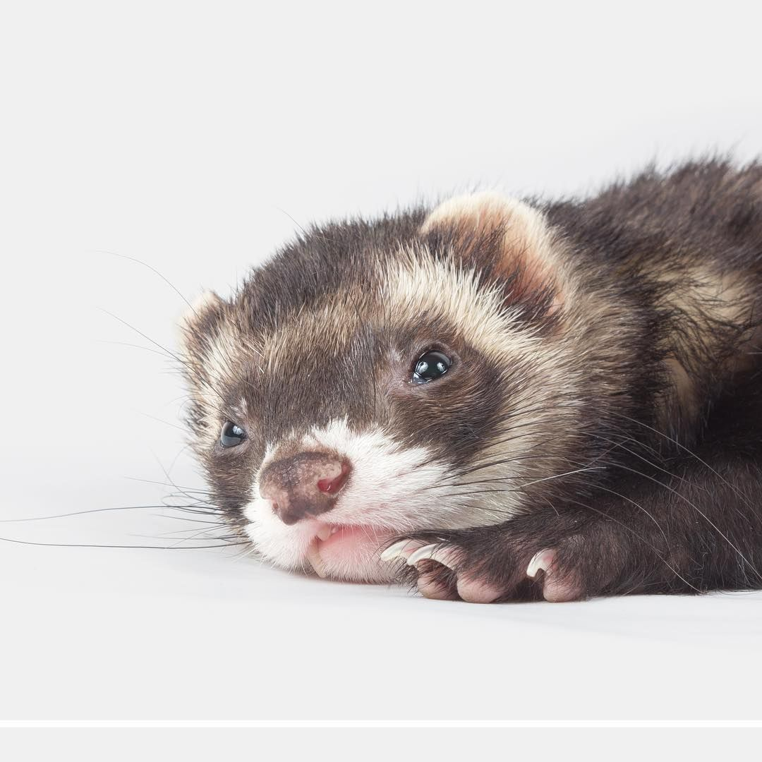 What Is Your Ferret S New Years Resolution Let S Get Creative Ferret Cute Ferrets Funny Ferrets
