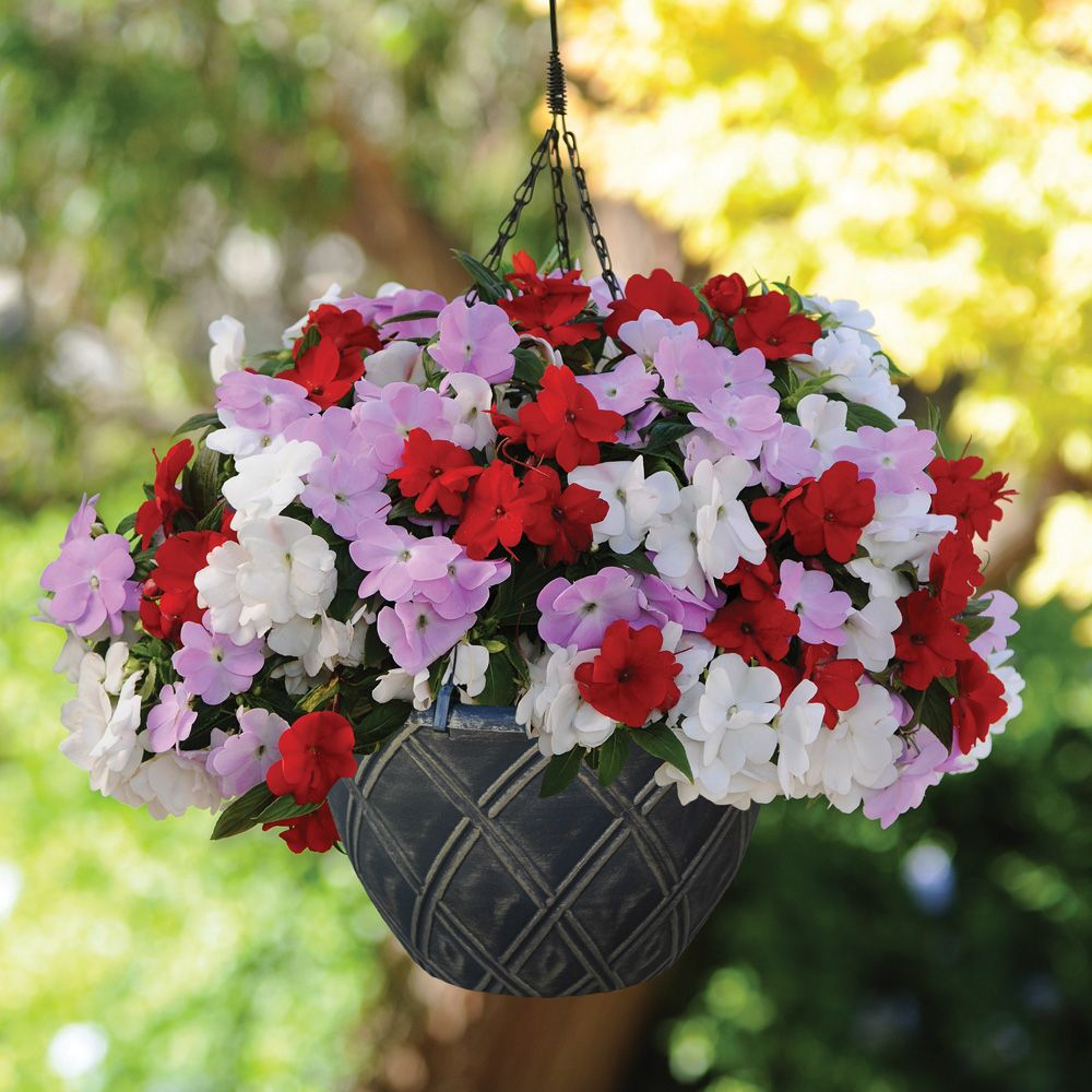 Busy Lizzie Divine Islander Mixed Pre Planted Basket Annual
