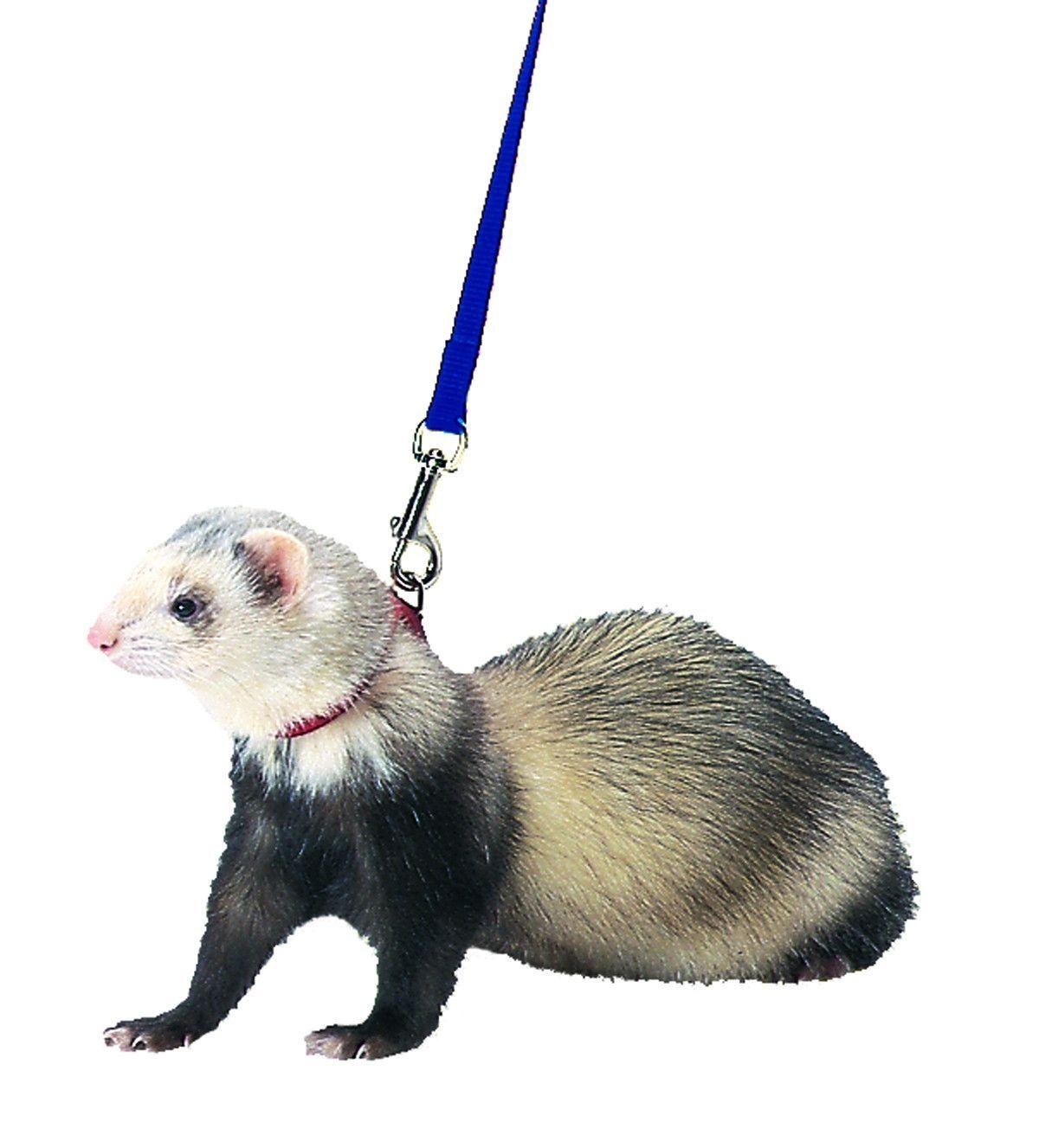 FERRET HARNESS AND LEAD | Small-Animals | Pinterest | Ferret, Small ...