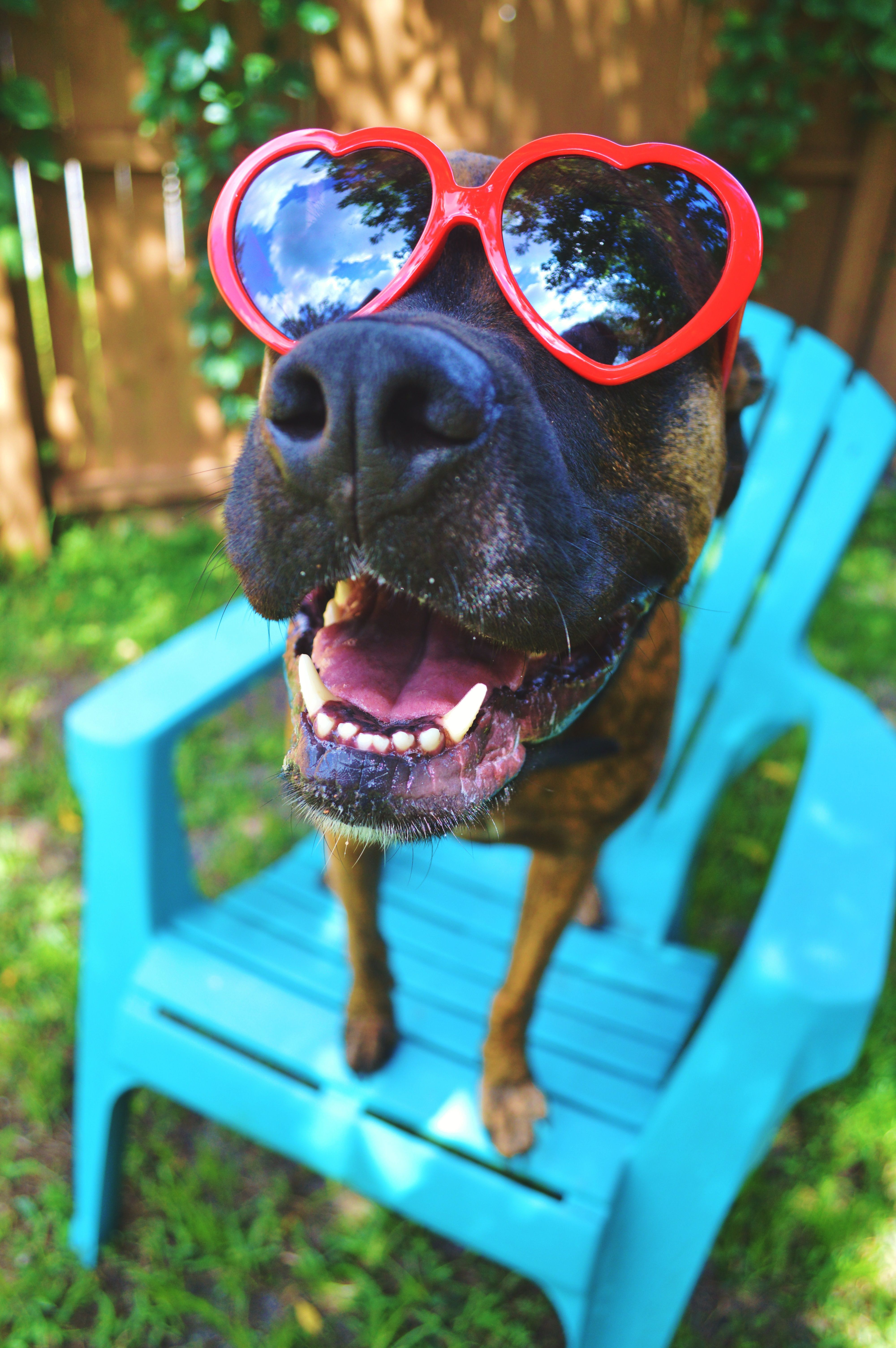 Wonderful Brindle Boxer Bow Adorable Dog - 30f0aa13f715d0e32c252d54c224af32  Picture_88945  .jpg