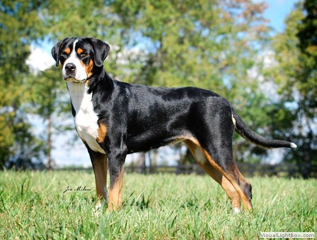 Gorgeous Greater Swiss Mountain Dog Greater Swiss Mountain Dog