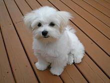Maltese Dog Wikipedia Maltese Puppy Maltese Dogs Dog Breeds