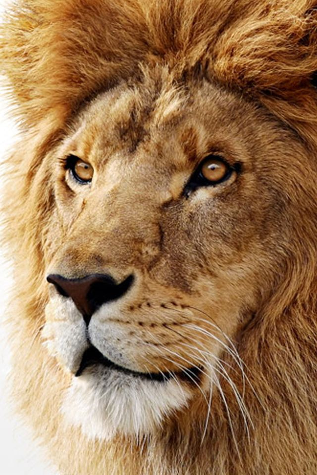 60 Amazing Animal Iphone Wallpaper Free To Download Godfather Style Animals Lion Lions
