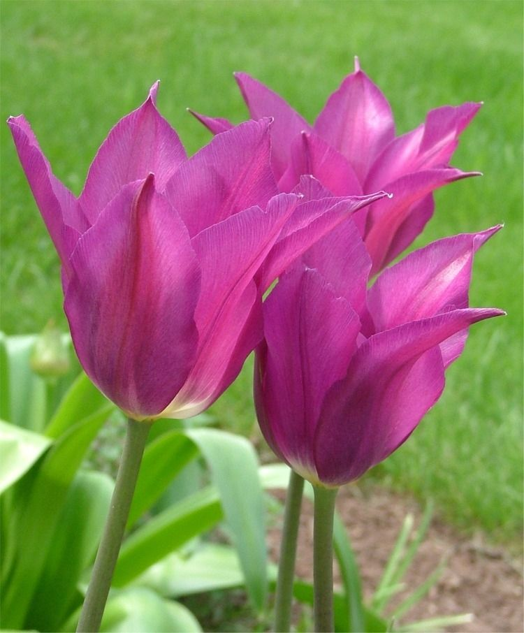 Tulip Purple Dream Bulb Flowers Tulips Flowers Planting Bulbs