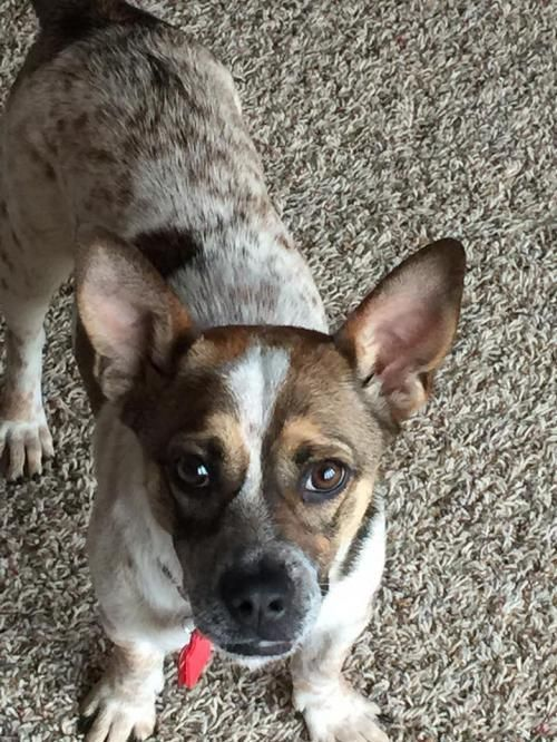 Meet Michelle A Petfinder Adoptable Corgi Dog In Maple Grove Mn