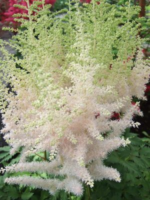 Astilbe Chinensis Milk And Honey Ppaf Astilbe Milk And Honey False Spirea Creamy White Plumes Turn Light Pink As They Plants Perennials Full Shade Flowers