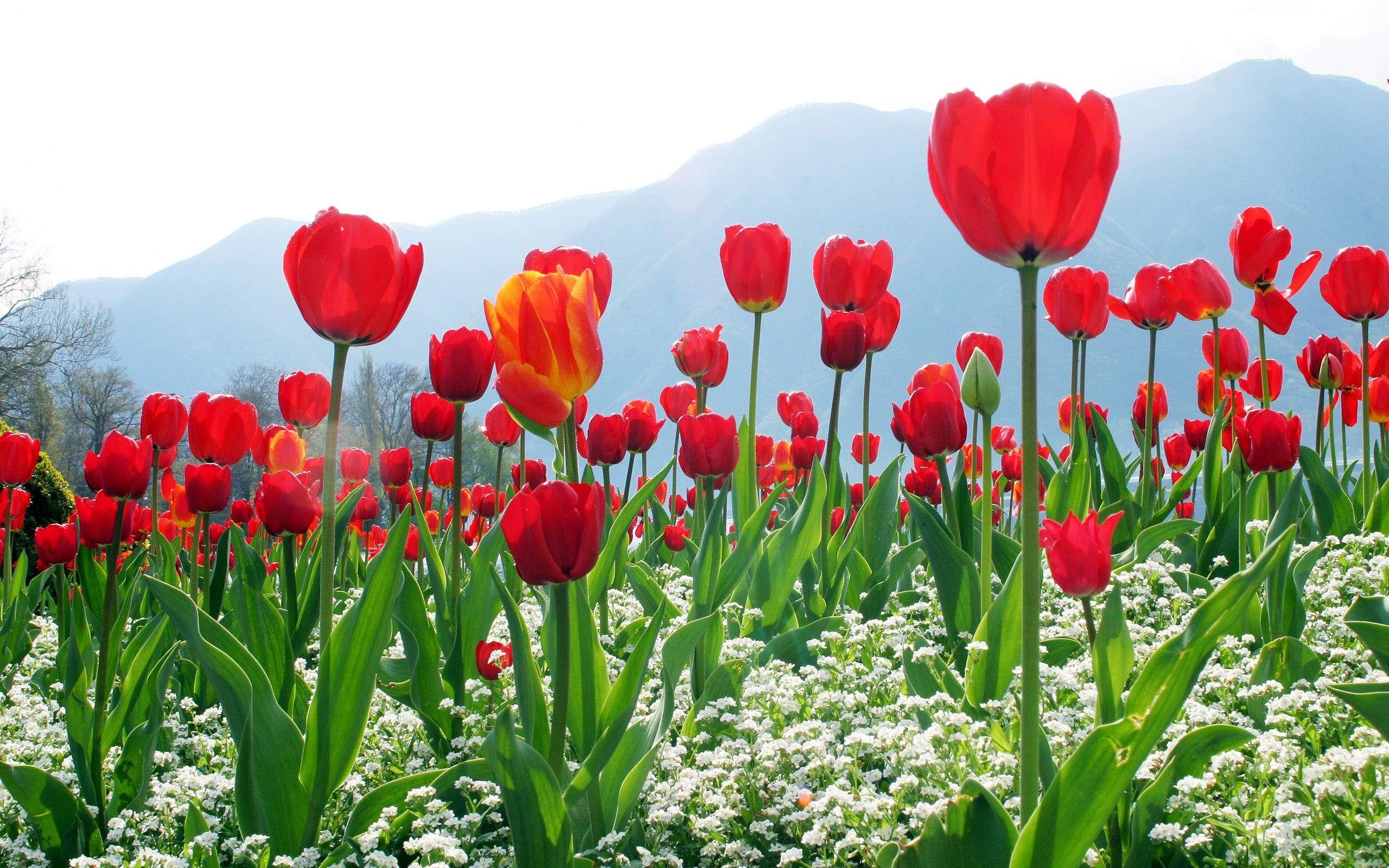 Обои Red, tulips. Разное foto 16