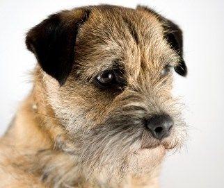 Terrier Dog Breeds Dog Paw Print Terrier Dog Breeds Big Dog Little Dog Terrier Dogs