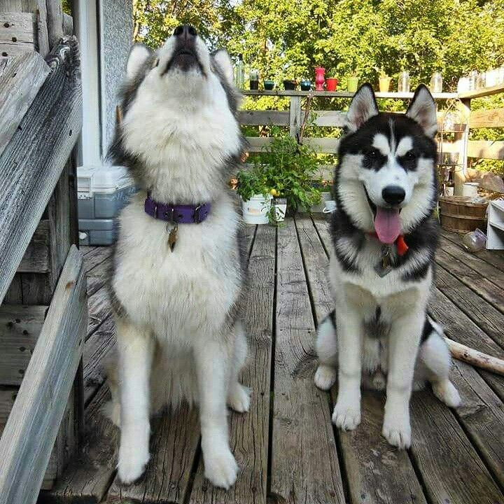 Rajah And Riku Siberian Huskies Out Of Minnesota Siberian