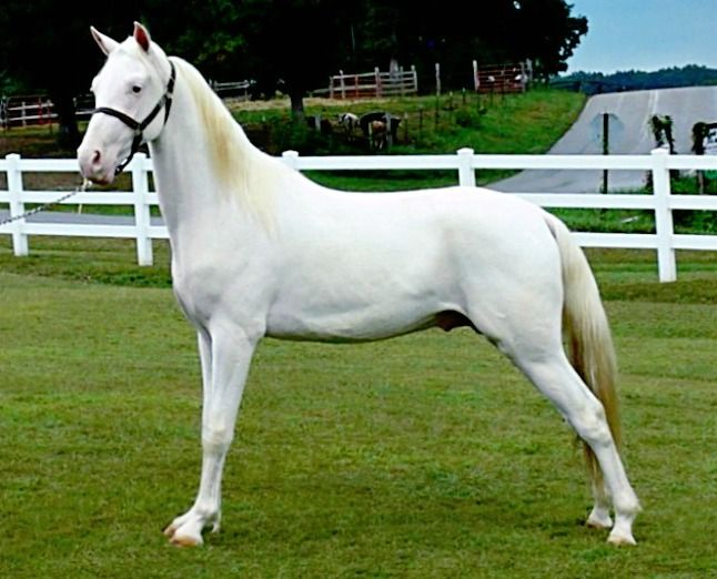 Tennessee Walker stallion, The Chocolate Dealer. Interesting - I looked at this horse's pedigree. This horse is a maximium white sabino. He's chestnut, sabino, and carries silver dapple. No cream gene. Silver dapple doesn't modify chestnut. This is what lots of sabino can do!