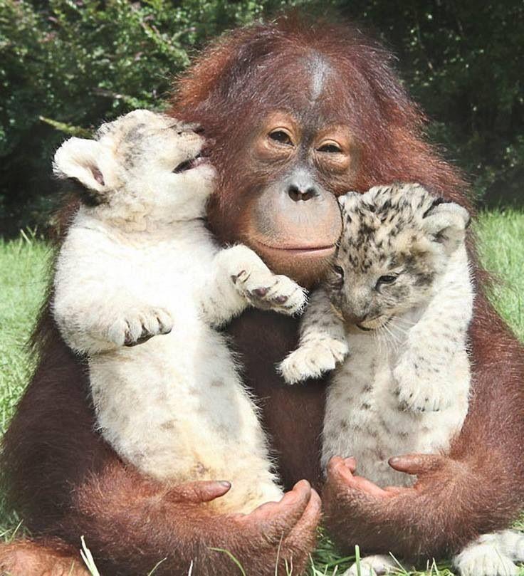 orangutan & 2 cubs