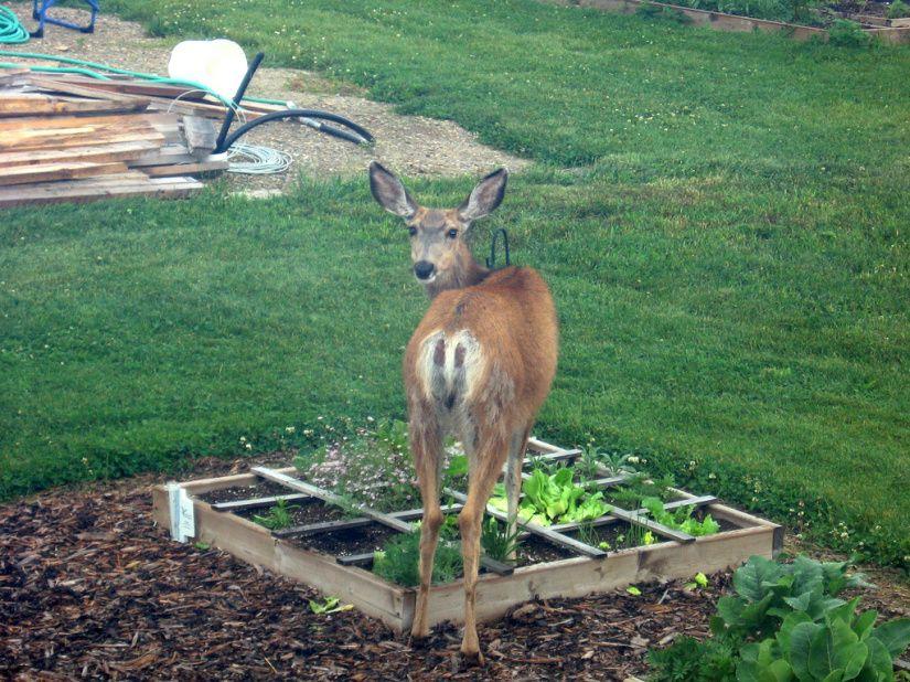 How To Keep Deer Out Of Your Garden   The Cheap Vegetable Gardener